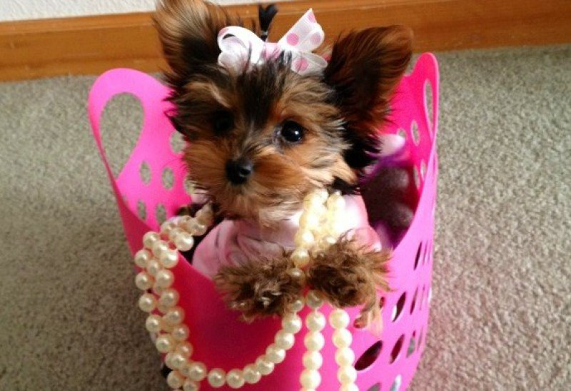 Classy Pets Colorado-Yorkie, Maltese, and Morkie Puppies for