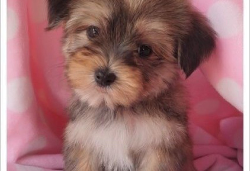maltese puppies for sale in colorado classy pets colorado yorkie maltese and morkie puppies 3069