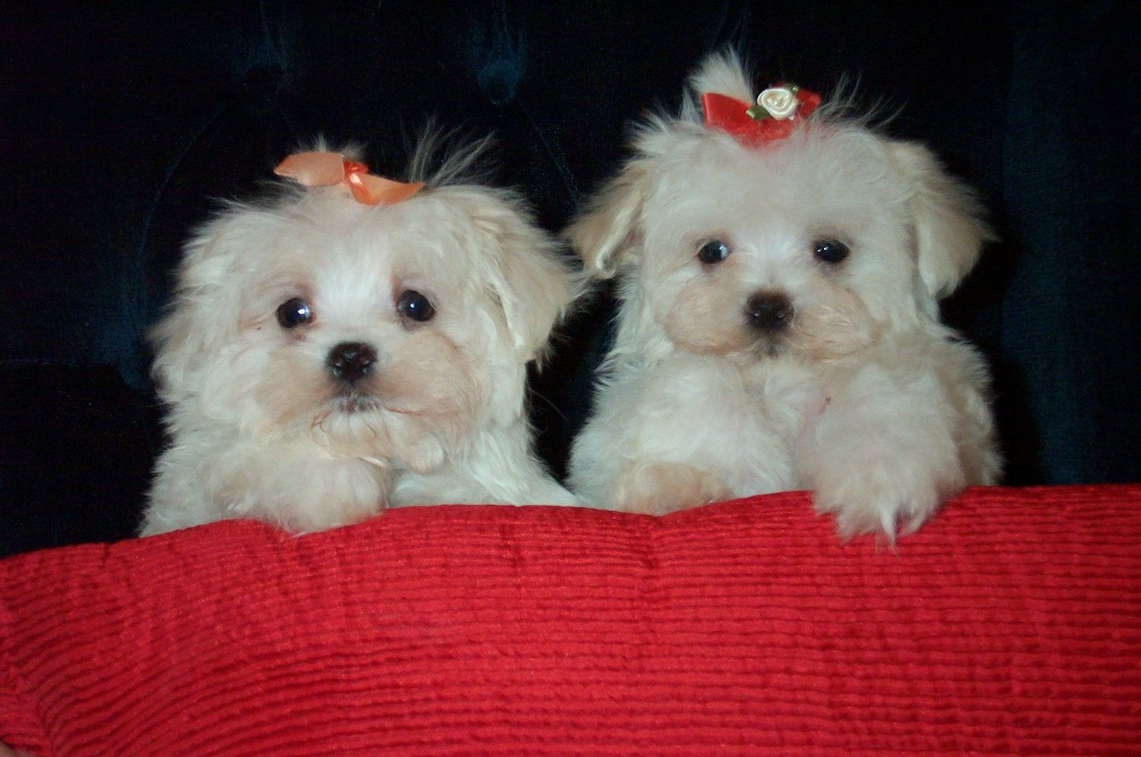 yorkie breeders in colorado classy pets colorado yorkie maltese and morkie puppies 7795