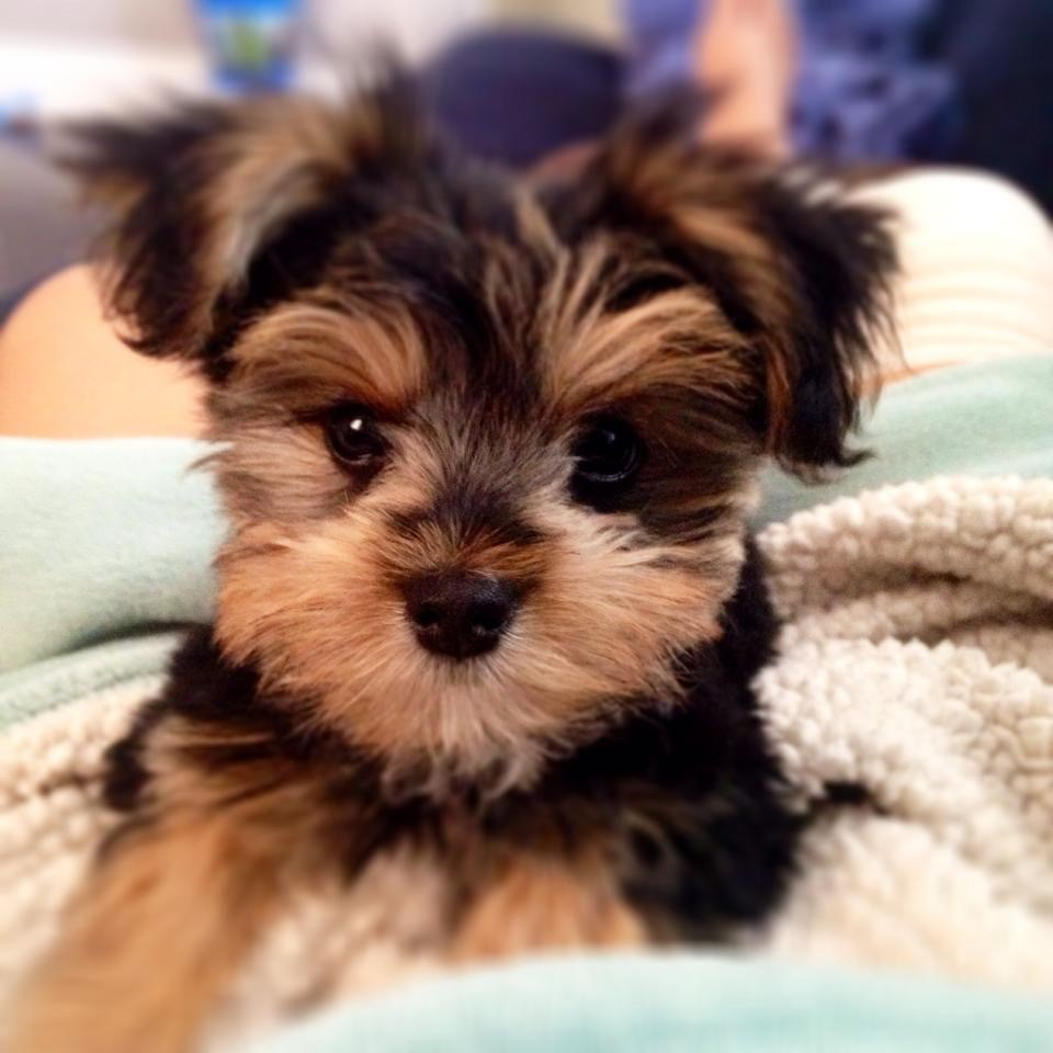 yorkie breeders in colorado classy pets colorado yorkie maltese and morkie puppies 3042