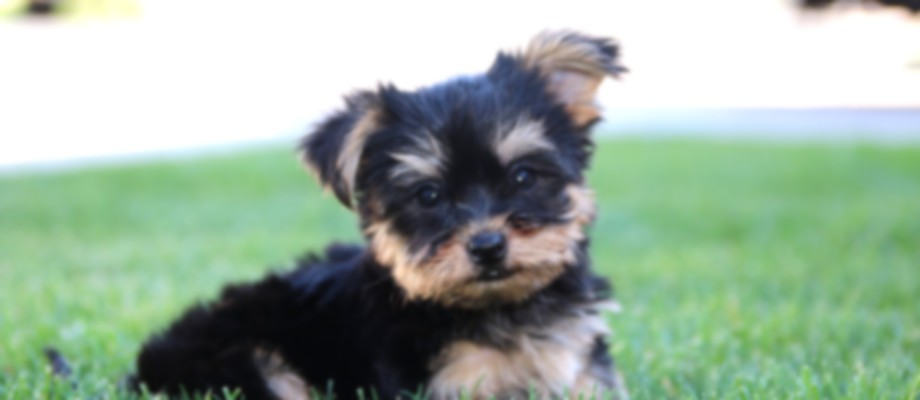 yorkie breeders in colorado classy pets colorado yorkie maltese and morkie puppies 8312